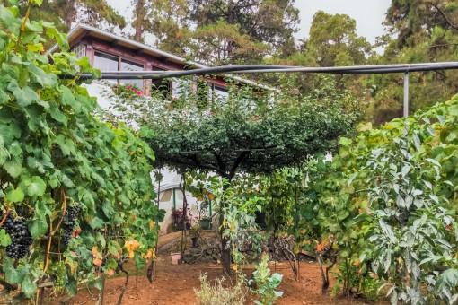 Finca auf 5.000 qm Grundstück mit Weinreben und Weinkeller in einer ruhigen Gegend von Icod de los Vinos