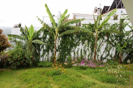 Bananenbäume im Garten