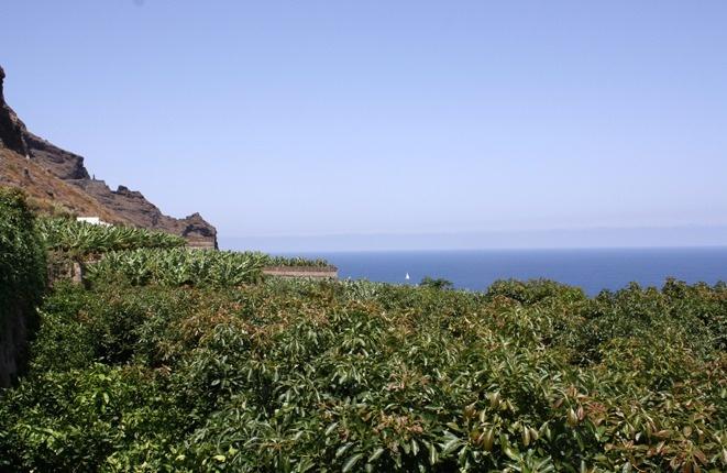 Bereich der Avocadobäume